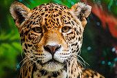 Close shot of a staring male jaguar