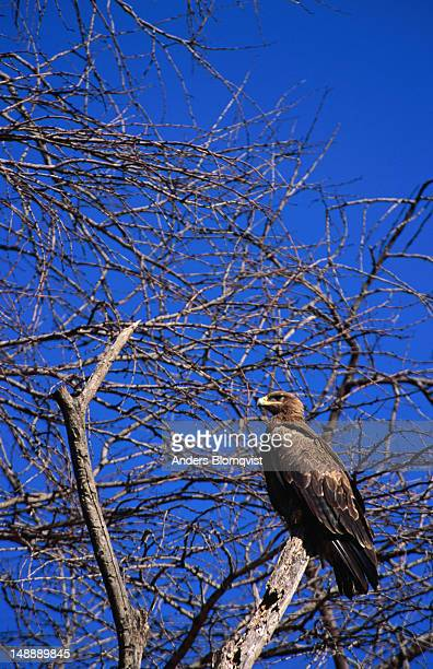 Tawny eagle (Aquila rapax) in a tree. This bird of prey is very common in Kenya and associates with vultures at lion kills.