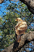 Tawny eagle perched in tree Kruger National Park South Africa