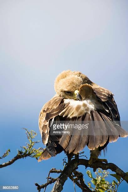 Tawny eagle preening