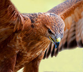 Tawny Eagle mid flight