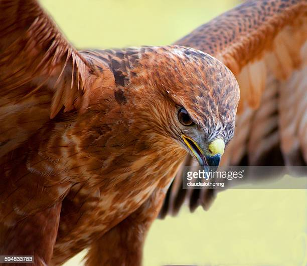 Tawny Eagle with wings spread, South Africa