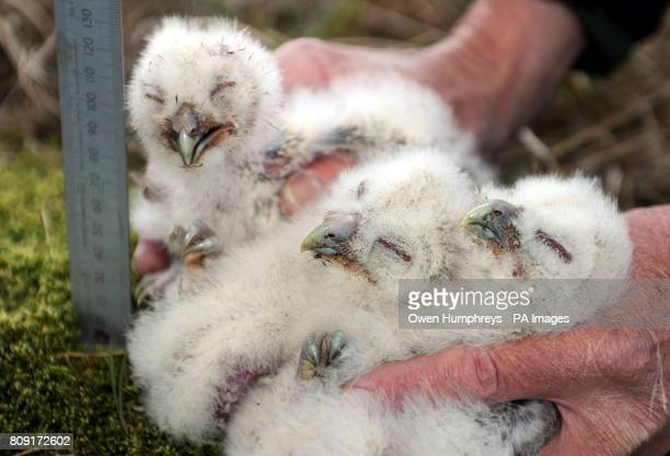 Tawny owl chicks are measured tagged and weighed as part of a 30 year conservation program to increase the tawny owl population in Kielder forest by...