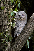 Tawny owl juvenile fledgling perched in tree at night