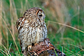 Tawny owl perched on tree stump in meadow at forest edge