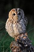 Tawny owl portrait on tree stump UK