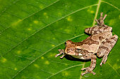 A close up of a Tawny Tree Frog in Costa Rica