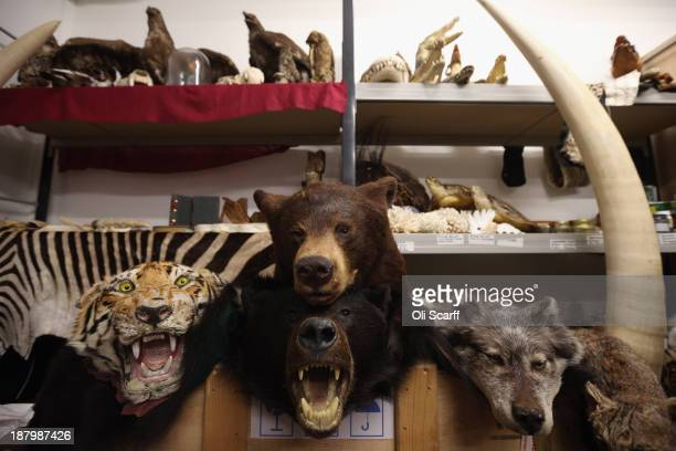 Taxidermy endangered species which have been seized by UK Border Force officers are held near the 'Queen's Warehouse' on November 14 2013 in London...