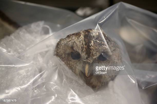 A taxidermy owl which has been seized by UK Border Force officers is held in the 'Queen's Warehouse' on November 14 2013 in London England The seized...