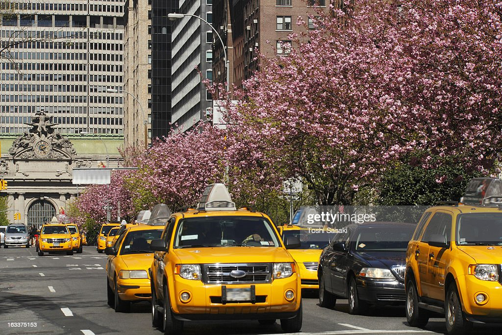 Taxis running beside line of cherry blossom.