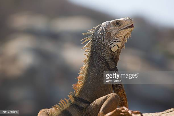 A iguana rests at sunset on a rock in the Tayrona national park.