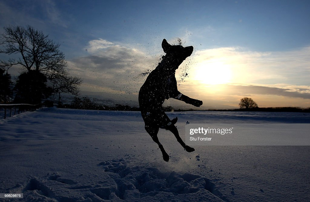 Tazzy the Labrador jumps in the snow on the Begwyns Hills on January 7, 2010 in Hay-On-Wye, United Kingdom. The MET office confirmed that the Christmas period has been the coldest for 25 years with temperatures as low as -17C being recorded. Snow and ice continue to cause problems across the UK with many roads and schools remaining closed, and forecasters warning temperatures could plunge as low as -20C overnight.