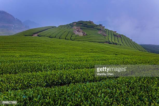 Tea bud and leaves. Tea plantations