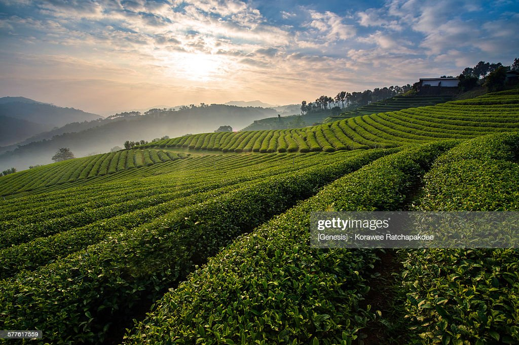 Tea farm in the morning sunrise