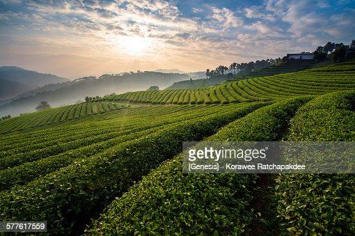 Tea farm in the morning sunrise