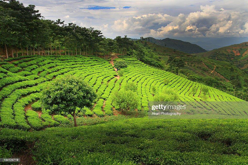Tea field : Stock Photo