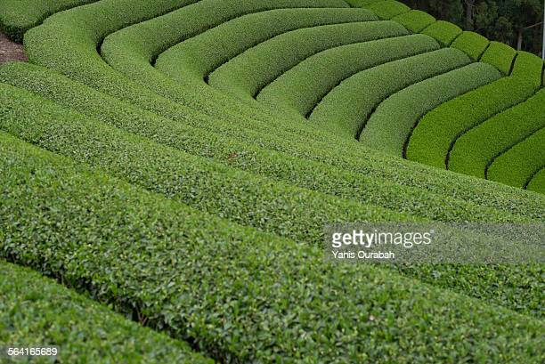 Tea field plantation in the mountain of Uji, Japan