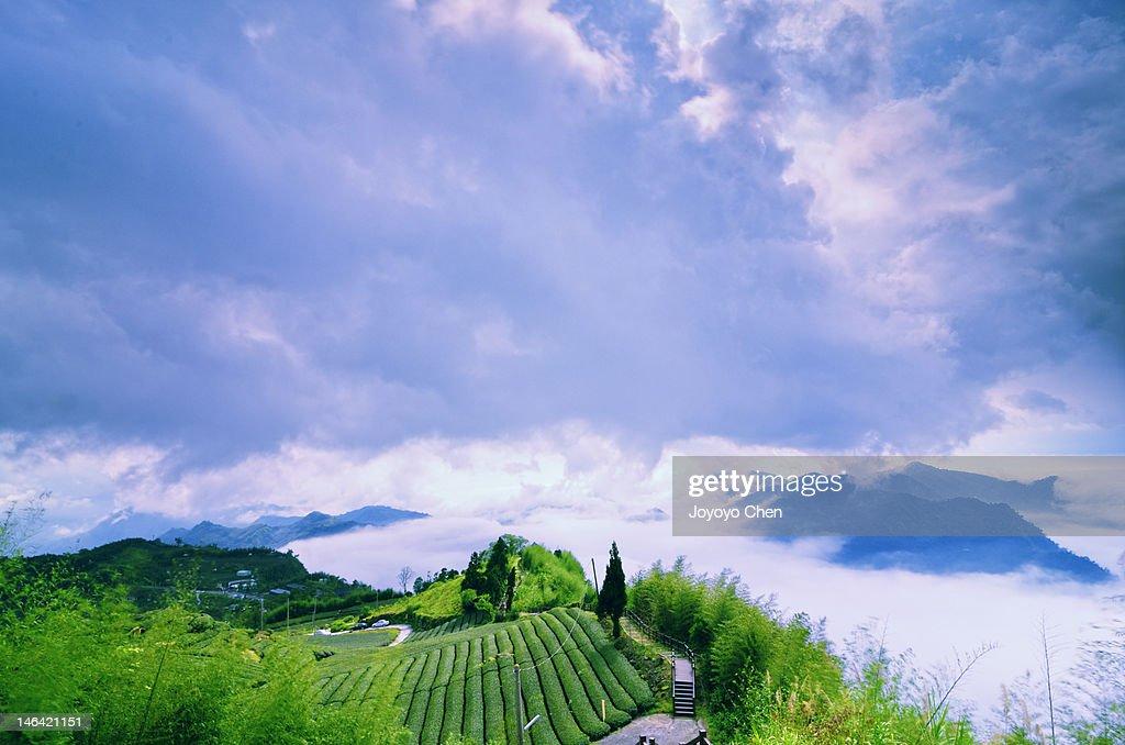 Tea garden and cloudy sky