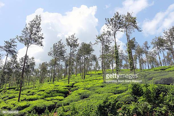 tea gardens in chikmagalur, with silver oak trees