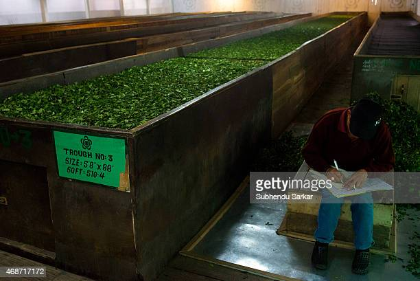 Tea leaves are being withered seventy per cent in troughs at the Makaibari tea factory Set up in 1859 off Kurseong in the Darjeeling hills the...