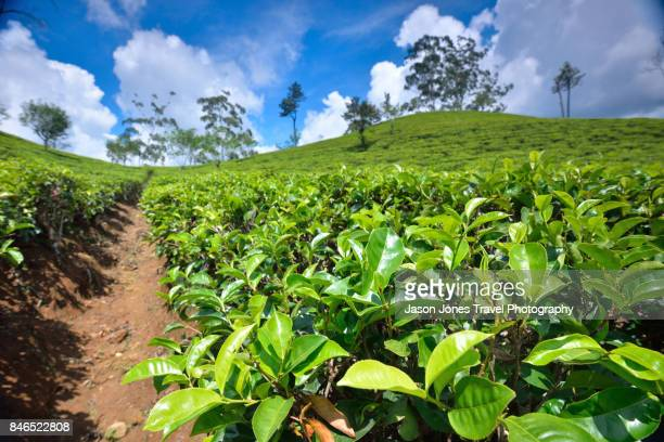 Tea Leaves growing in a plantation