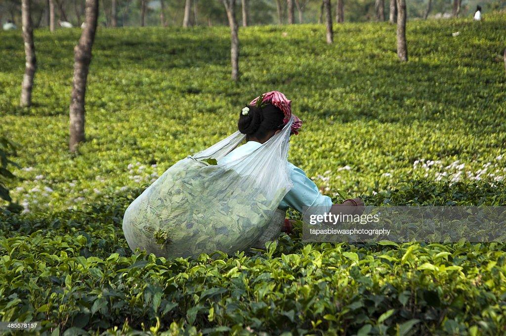 Tea leaves plucking