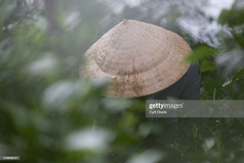 Tea picker Bolaven plateau Laos : Stock Photo