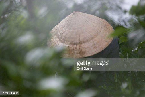 Tea picker Bolaven plateau Laos : Stock Photo