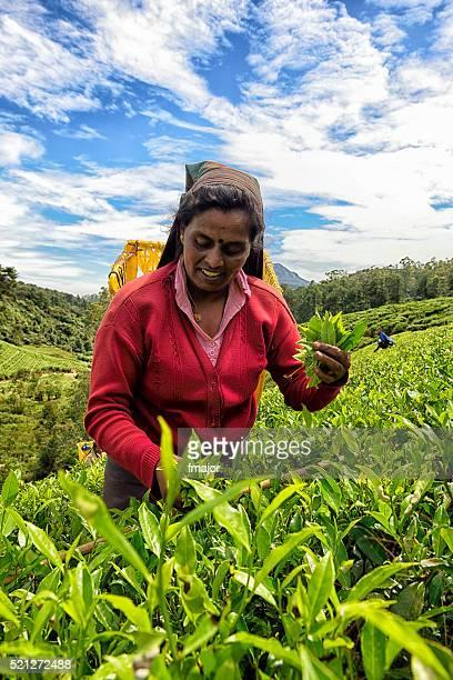 Tea Picker in Nuwara Eliya, Sri Lanka
