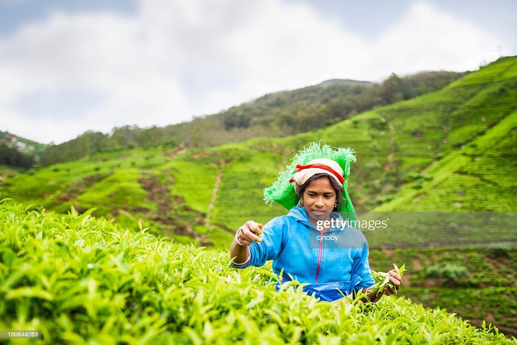 Tea picker of Sri Lanka : Stock Photo