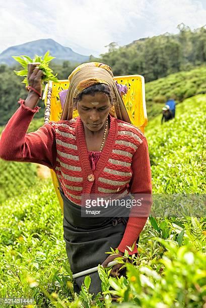 Tea Pickers in Nuwara Eliya, Sri Lanka