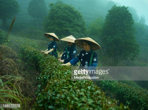 Tea pickers : Stock Photo