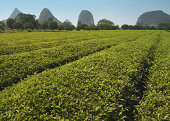 Tea plantation, Guilin, China