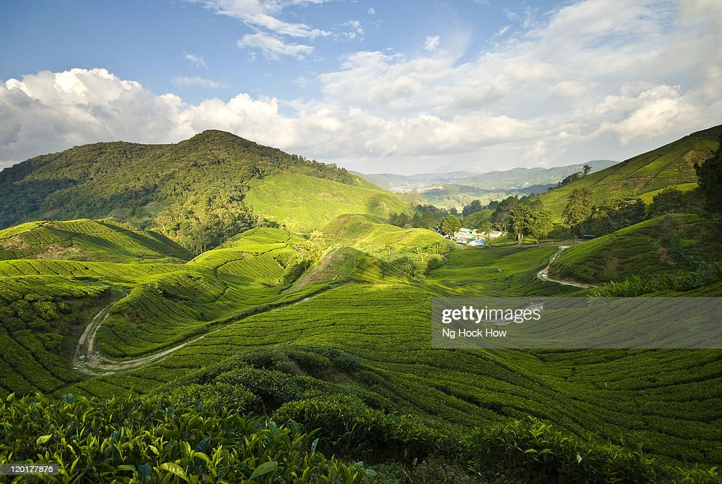 Tea plantation in Cameron Highlands : Stock Photo