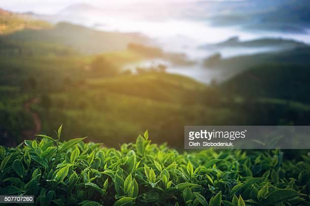 Plantação de chá na Índia