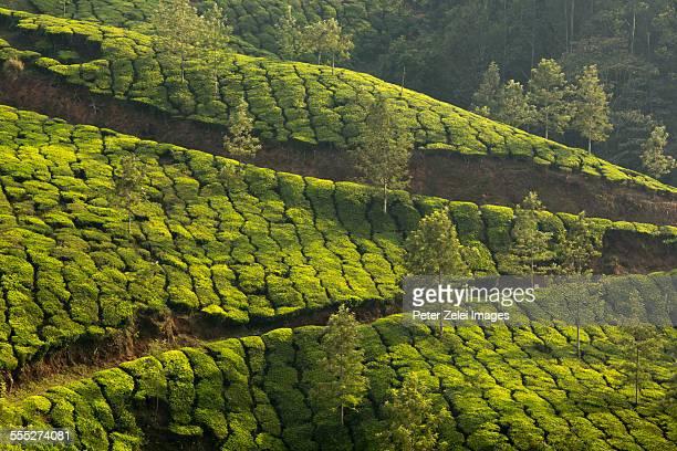 Tea plantation in Munnar, India