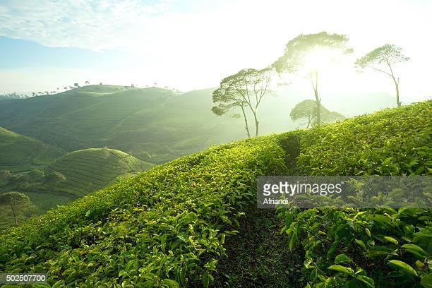 Tea plantation in Pangalengan, Indonesia