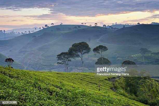Tea Plantation in Pengalengan