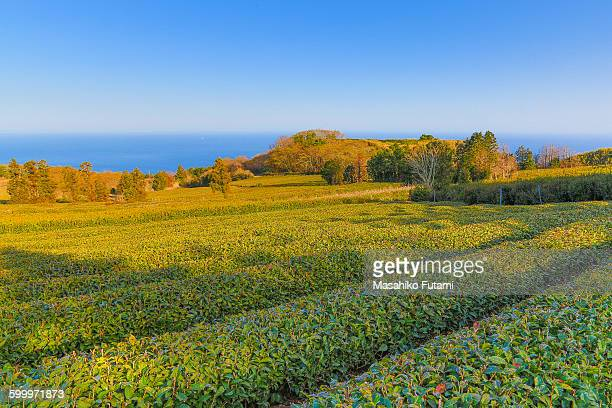 Tea plantation in Yugawara