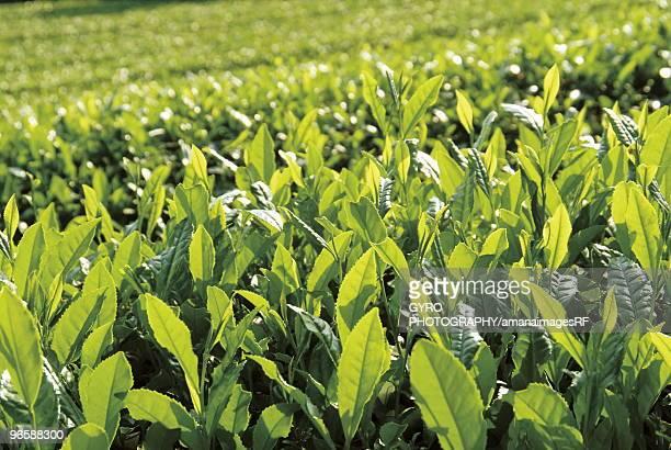 Tea plantation, Kyoto Prefecture, Honshu, Japan