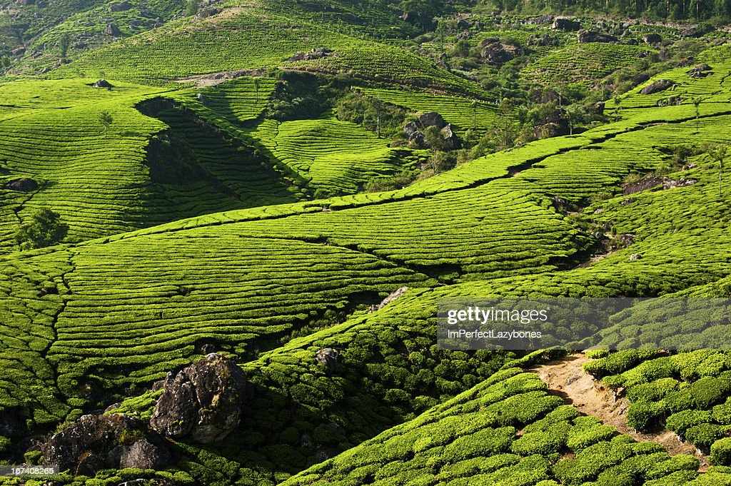 Tea plantation landscape. Munnar, Kerala, India : Stock Photo