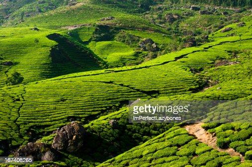 Tea plantation landscape. Munnar, Kerala, India : Stock Photo