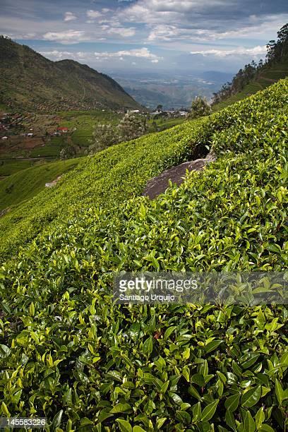 Tea plantation on hills