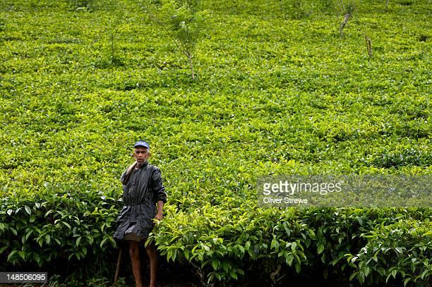 Tea plantation on the Pussalawa to Nuwara Elya road.