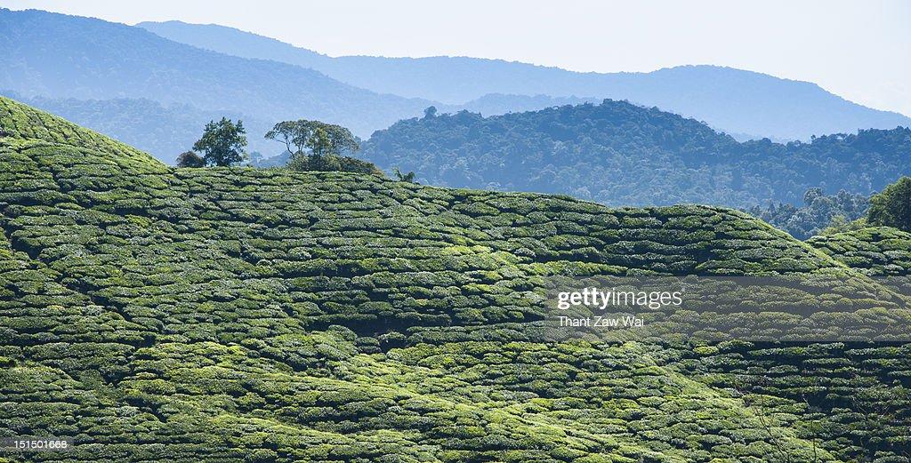 Tea plantation : Stock Photo