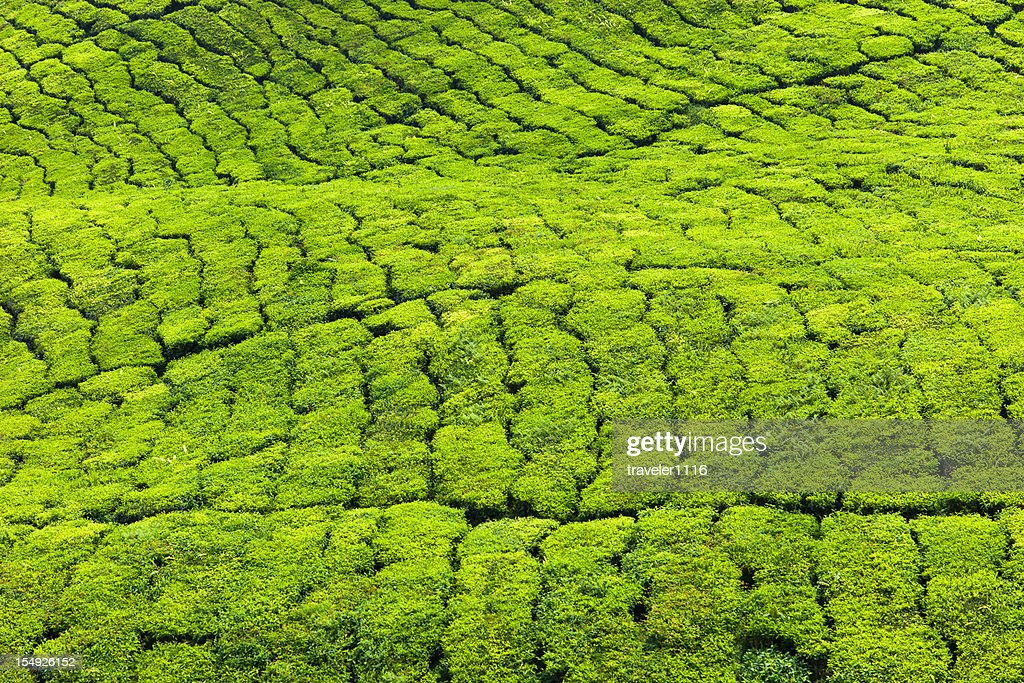 Tea Plantation : Stock Photo
