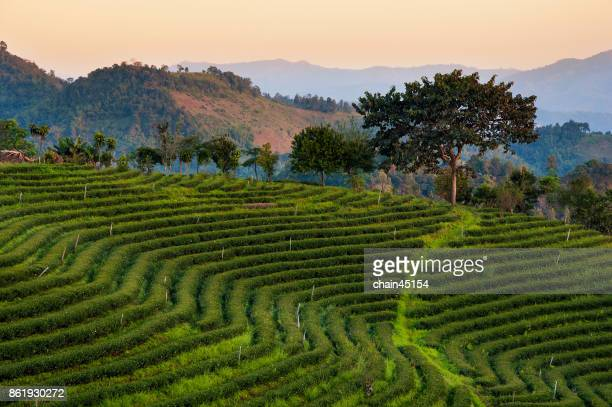 Tea plantation step field on the mountain in the north of Thailand at Chiang Rai Thailand.