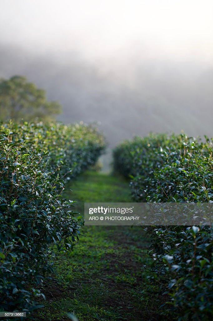 Tea Plantation | Tea Garden Estate