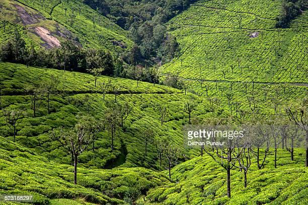 Tea plantation view