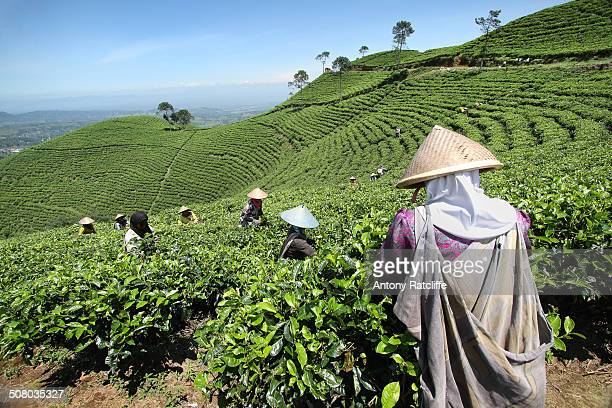CONTENT] Tea plantation workers on the slopes of Gunung Lawu in Central Java Indonesia